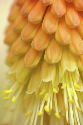 Photograph - In Full Bloom 2. Kniphofia Flower Abstract by Jenny Rainbow