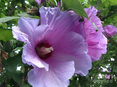 Rose Of Sharon Tree Photograph - In Full Bloom by Gina Sullivan