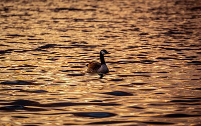 Photograph - In Golden Water by Lilia D