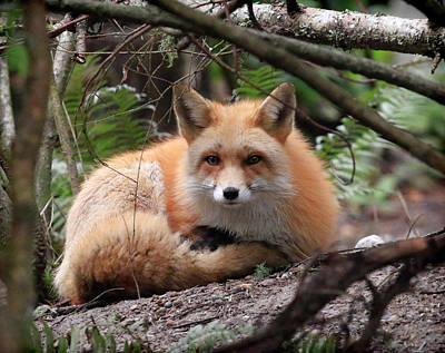 Photograph - In Hiding Red Fox by Steve McKinzie