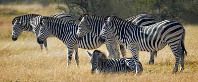 Photograph - In Line Zebras by Joe Bonita