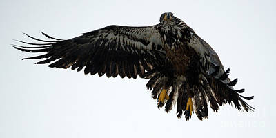 Eagle Photograph - In Mid-air by Mike Dawson