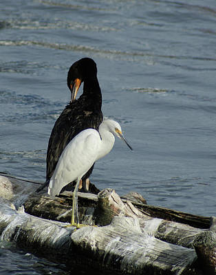 Photograph - In Mixed Company -egret And Cormorant by Margie Avellino