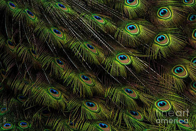 Photograph - In Peacock Fashion Feather Abstract by Sonya Lang