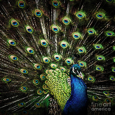 Photograph - In Peacock Fashion by Sonya Lang