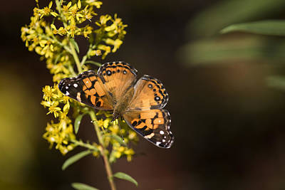 Photograph - In Search Of Nectar by Robert Potts