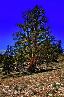 Photograph - In The Ancient Bristlecone Pine Forest by Roger Passman