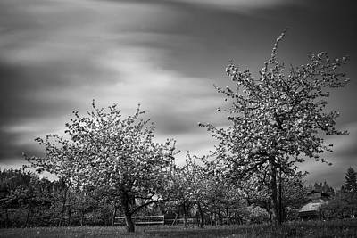 Photograph - In The Apple Orchard by Inge Riis McDonald
