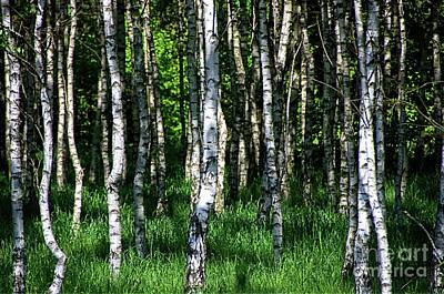 Photograph - In The Birch Forest by Elzbieta Fazel