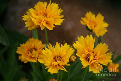 Photograph - In The Daisy Family by Kay Novy