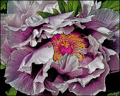 In The Eye Of The Peony Art Print