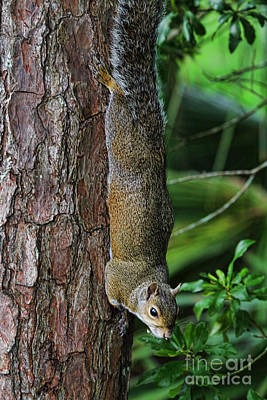 Pine Squirrel Photograph - In The Forest by Deborah Benoit