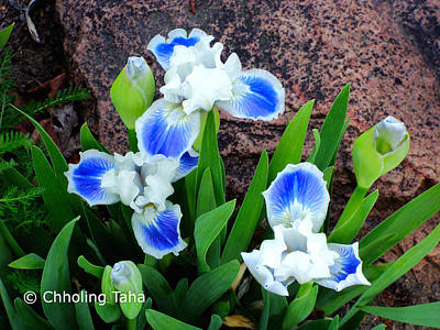 Photograph - In The Garden - Blue-eyes Iris by Chholing Taha