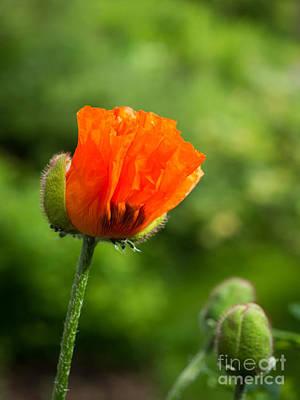 Photograph - In The Garden - Oriental Poppy by Ismo Raisanen