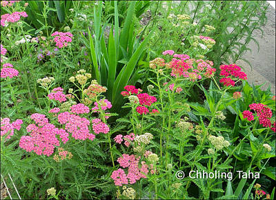 Photograph - In The Garden - Yarrow by Chholing Taha