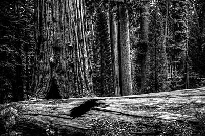 Photograph - In The Giant Forest - Sequoia National Park by Roger Passman