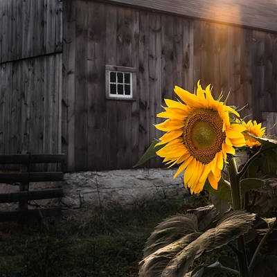 Sunflower Photograph - In The Light by Bill Wakeley