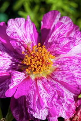 Photograph - In The Pink Moss Rose by Kathy Clark