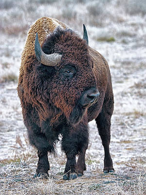 Digital Art - Olena Art Bison The Mighty Beast  Bison Das Machtige Tier North American Wildlife 2 by OLena Art Brand