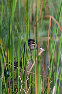 Photograph - In The Reeds by Bill Wakeley