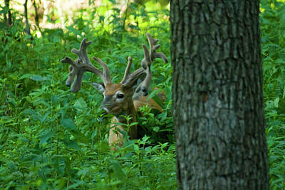 Deer Photograph - In The Shadows by Michael Barry