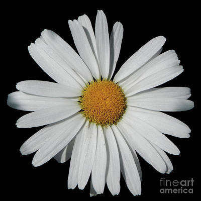 Photograph - In The Spotlight White Daisy by Dave Nevue