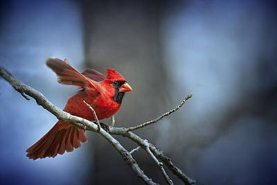 Male Northern Cardinal Photograph - In The Still Of The Night . . . by Bonnie Barry