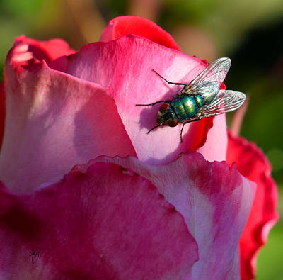 Photograph - In The Sun - Fly On Rose by Michele Avanti