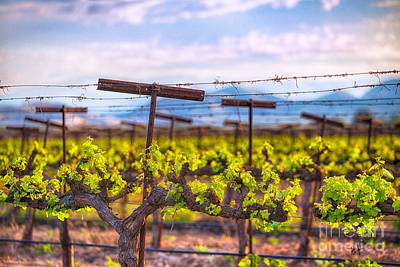 Photograph - In The Vineyard by Anthony Michael Bonafede