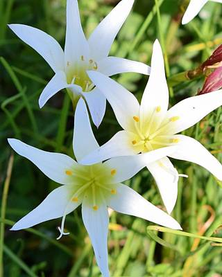 Photograph - In The Wild White Lilies  by Sheri McLeroy