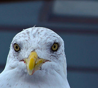 Photograph - In Your Face Gull by Richard Ortolano