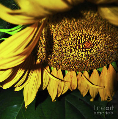 Photograph - In Your Face Sunflower by George D Gordon III