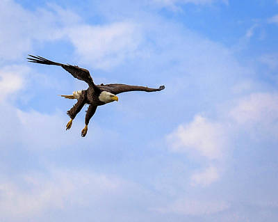 Photograph - Inbound Eagle by Alan Raasch