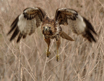 Photograph - Inbound Red Tail Hawk by Matt MacMillan