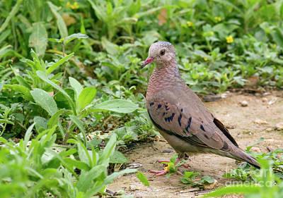 Photograph - Inca Dove by David Cutts