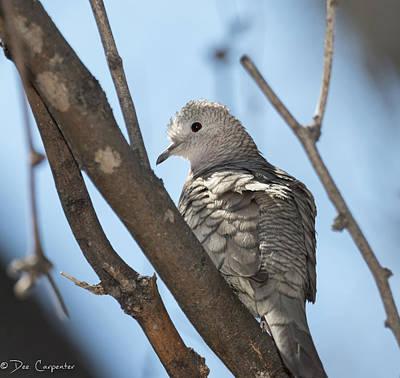 Photograph - Inca Dove by Dee Carpenter