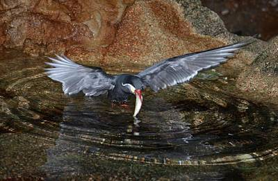 Photograph - Inca Tern Catches A Fish by Richard Bryce and Family