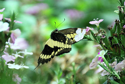 Photograph - Incoming Butterfly by Kathy Kelly