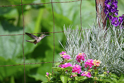 Photograph - Incoming Hummingbird by Brook Burling