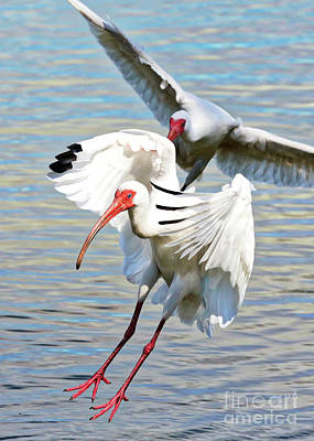 Photograph - Incoming Ibises by Carol Groenen
