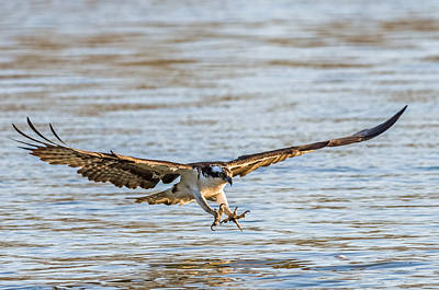Photograph - Incoming Osprey by Lori Coleman