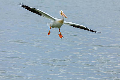 Photograph - Incoming Pelican by James BO Insogna