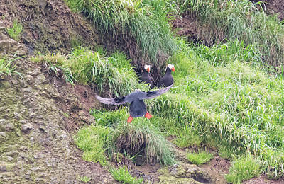 Photograph - Incoming Puffin by Loree Johnson