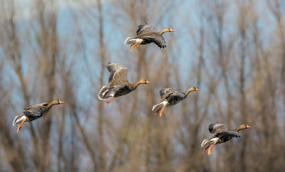 Incoming White-fronted Geese Art Print