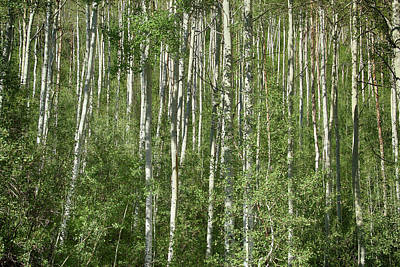 Photograph - Independence Aspen by Marie Leslie