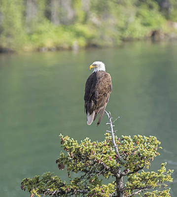 Photograph - Independence Day Eagle by Loree Johnson