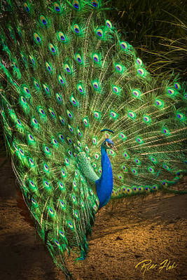 Photograph - India Blue Peacock by Rikk Flohr