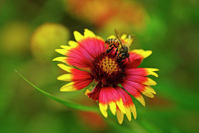 Indian Blanket Bee Art Print