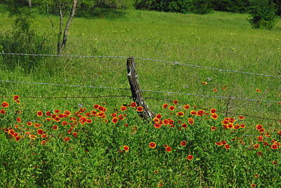 Horsemint Photograph - Indian Blanket Fence by Robyn Stacey