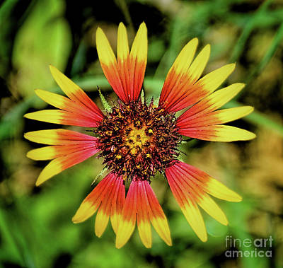 Photograph - Indian Blanket Flower 12018-4 by Ray Shrewsberry